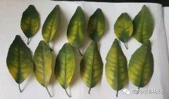 柑桔树缺镁的症状有哪些?为什么会缺镁?如何防治?