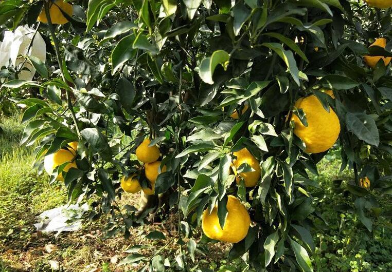 媛小春柑橘