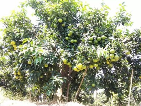 爱媛38号柑桔种植有哪些注意事项?