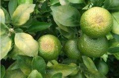 柑橘日灼果有哪些防治措施?