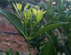 什么是柑橘抹芽放梢?抹芽放梢的作用、方法和时间