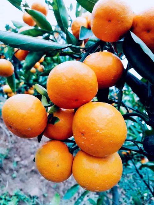特早熟由良蜜桔品种介绍与栽培种植技术