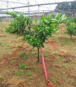 柑橘树拉枝的作用和方法