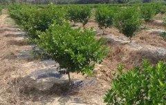 柑橘幼树的施肥方法