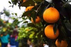 爱媛38号柑桔的缺点有哪些?