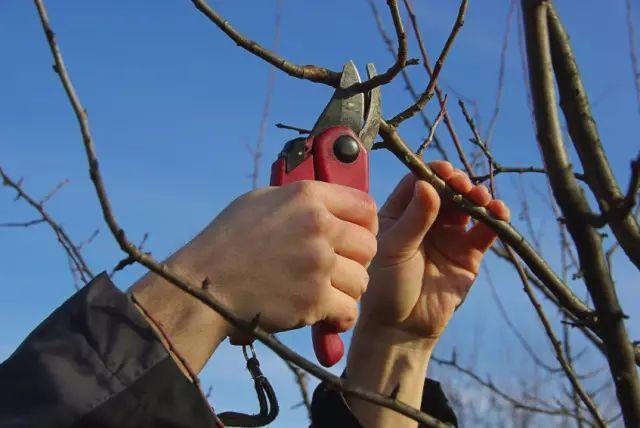 受冻害柑橘树与移栽大树如何修剪整形?