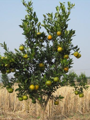 刚开始挂果的柑橘树怎么修剪?