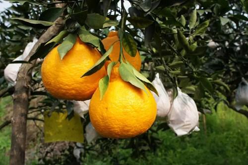 不知火柑橘