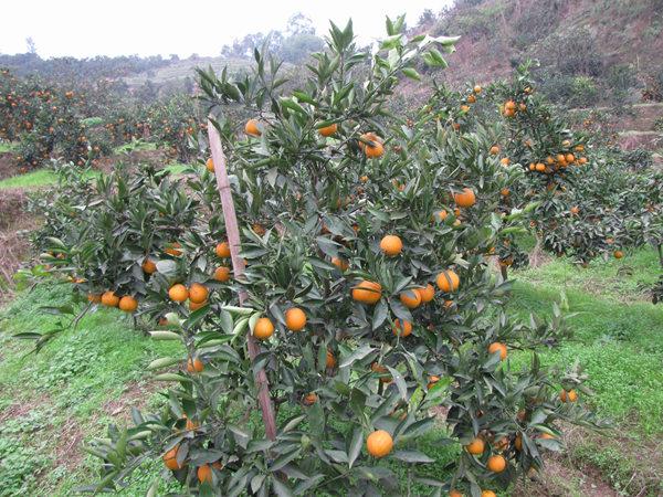 长叶香橙大树