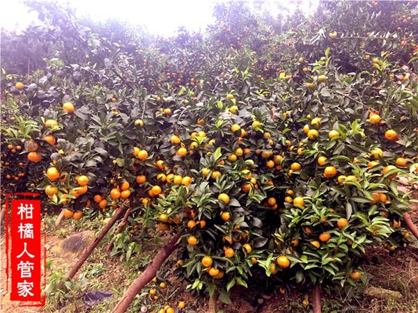 金葵沙糖桔结果图片