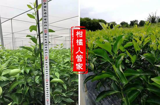 金葵早熟沙糖桔苗价格多少钱