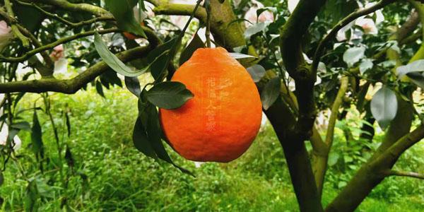 丑美人柑橘品种简介(2020年柑橘新品种)