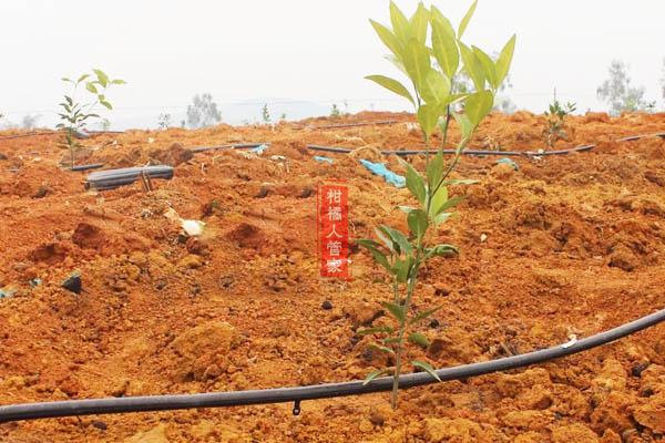 沃柑第一年种植管理方法和技巧之快速扩大树冠