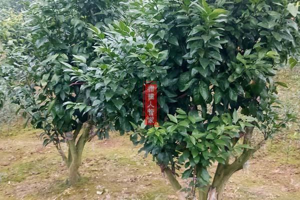 哪里有无籽沃柑枝条卖