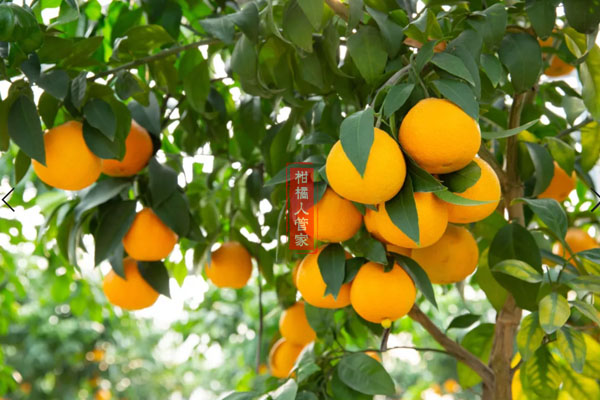红美人柑橘寿命有多少年,能活30年吗