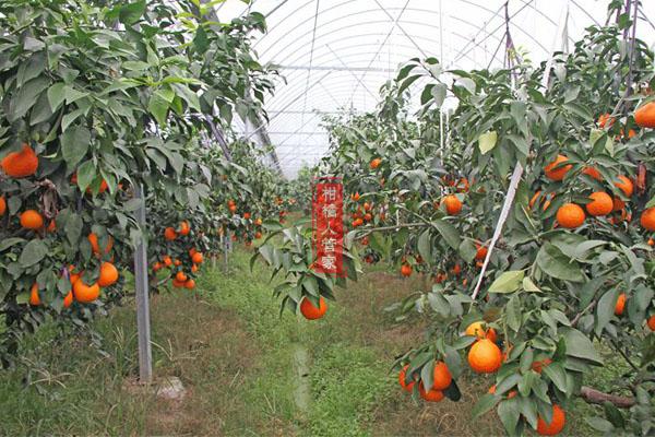 红美人柑橘种植成本及效益分析