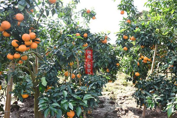 红美人柑橘可以在山上栽培吗?