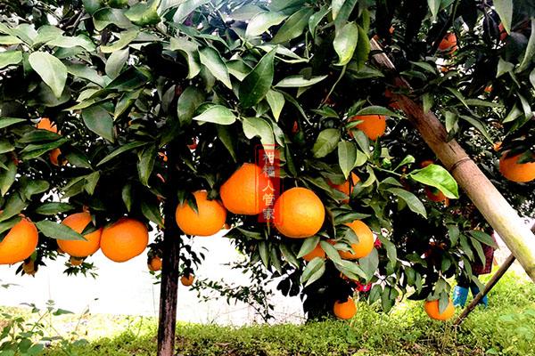 种红美人柑橘种植一亩要多少钱