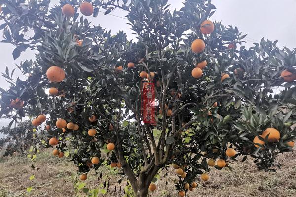霜红桔橙品种简介(2021年柑橘新品种)