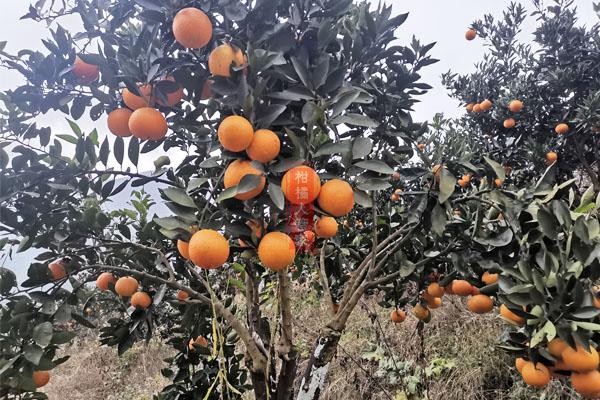 2021年柑橘新品种汇总