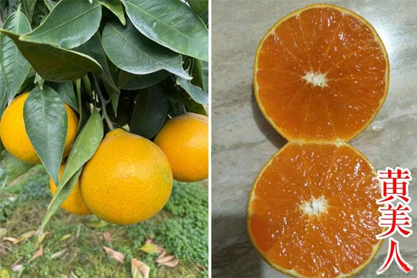 黄美人柑橘