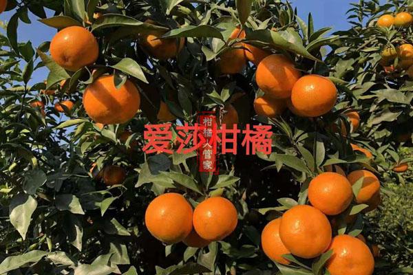 华美1号柑橘品种简介