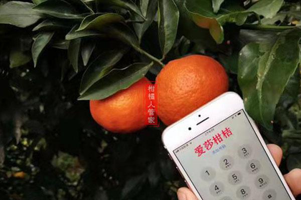 华美1号柑橘简介