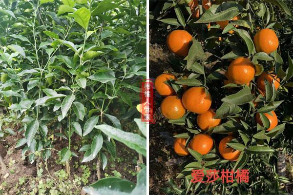 华美1号柑橘