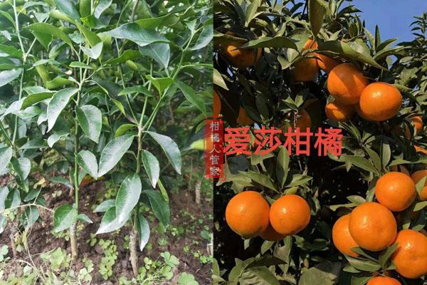华美1号柑橘的缺点