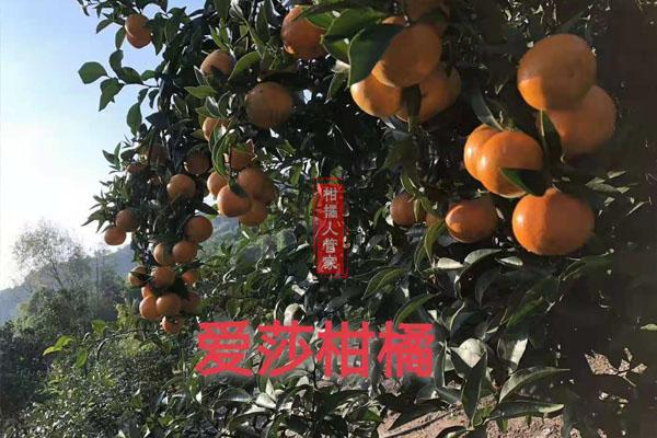 华美1号柑橘的种植技术