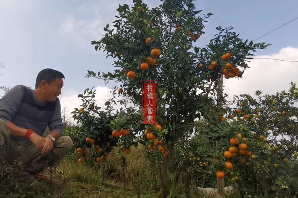 华美1号柑橘的缺点和种植技术