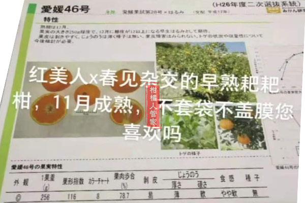 爱媛46号柑橘早熟耙耙柑介绍