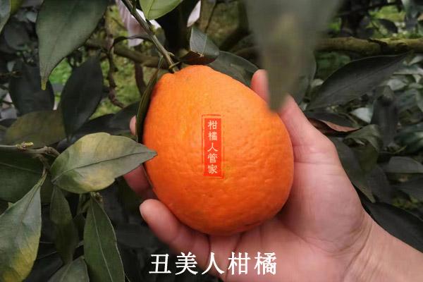 2021比明日见更好的柑橘品种