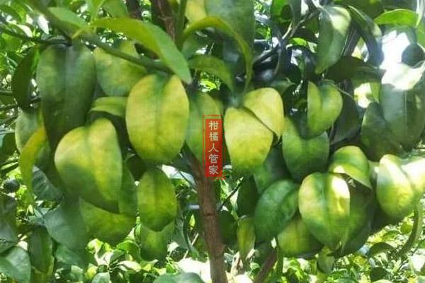 柑橘缺氮肥的症状及其原因