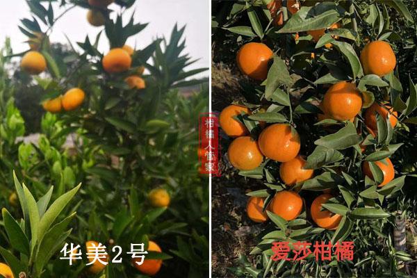华美1号与2号柑橘比较哪个好