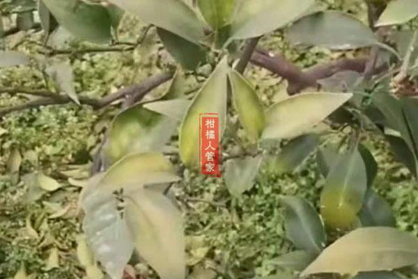 爱媛38叶子黄化黄叶掉叶是什么病