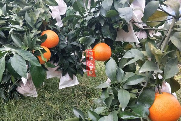 红美人柑橘什么时候套袋好,最佳时间是
