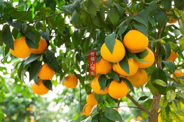 红美人柑橘到底有几个品种