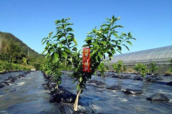 红美人柑橘幼树施肥量的详细方案