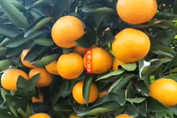 阳光一号蜜桔是什么品种