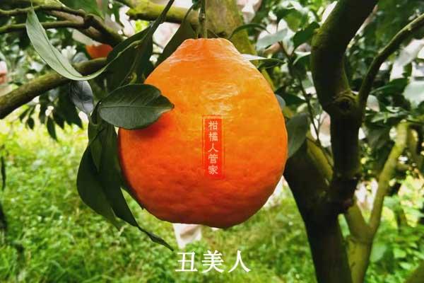 适合高海拔种的柑橘品种