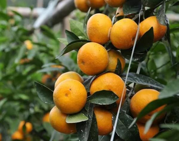 比沃柑更好的柑橘品种有哪些