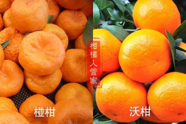 椪柑和沃柑哪个品种好