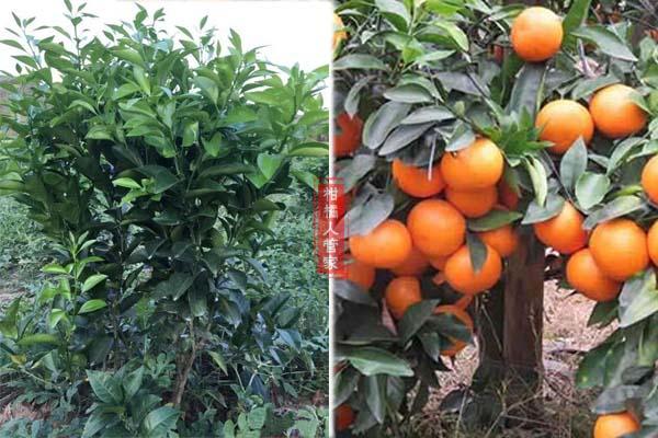 沃柑小树要怎么施肥