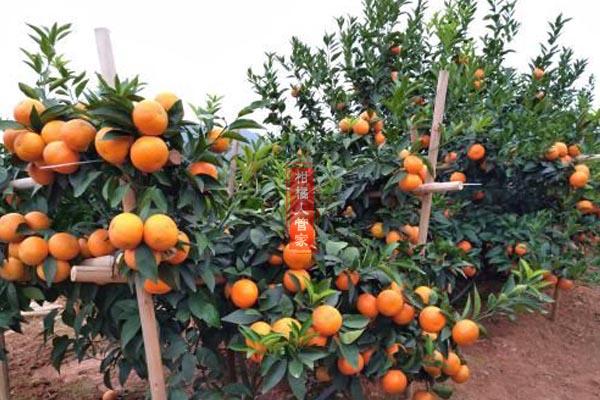 攀枝花沃柑什么时候成熟
